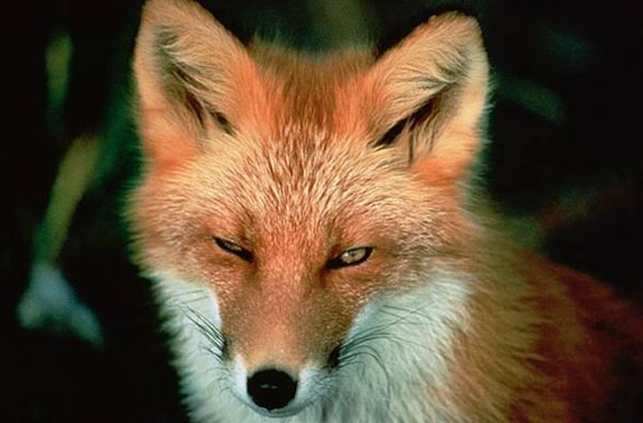 Mens For Fox Sake funny joke rude gift foxes Tank Top Vest